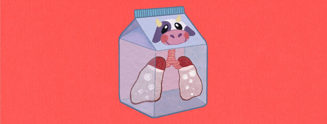 A pair of irritated lungs filled with milk trapped in a milk carton.